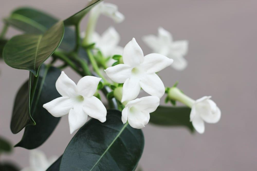 Most Popular Wedding Flowers - Stephanotis