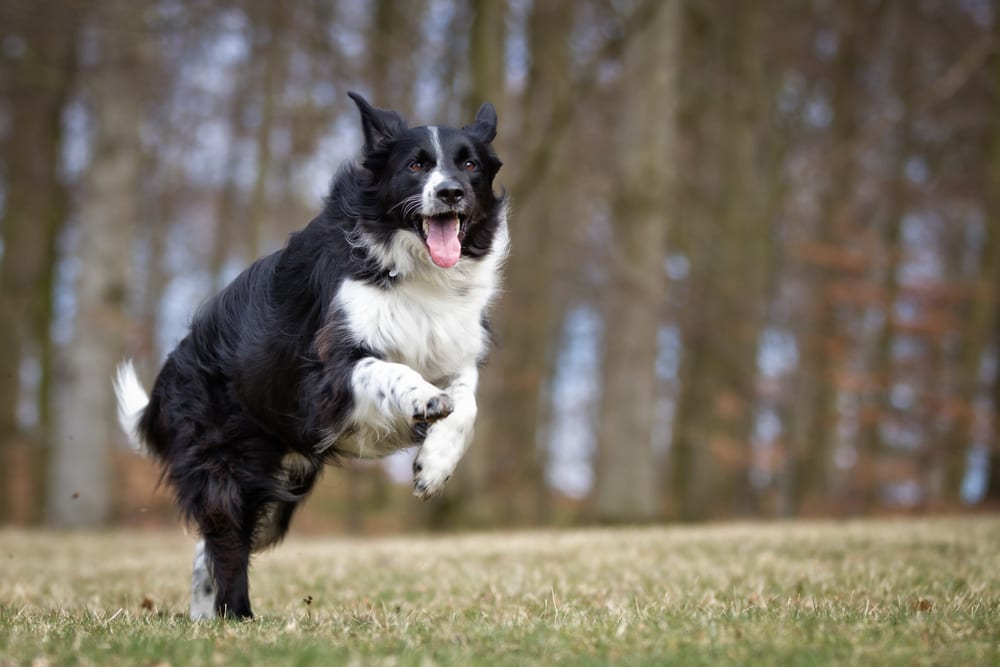 Fastest Dog Breeds - Border Collie