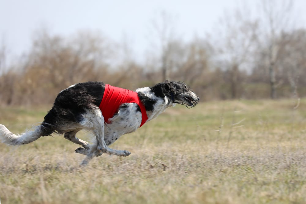 Fastest Dog Breeds - Borzoi