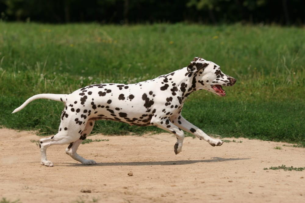 Fastest Dog Breeds - Dalmatian