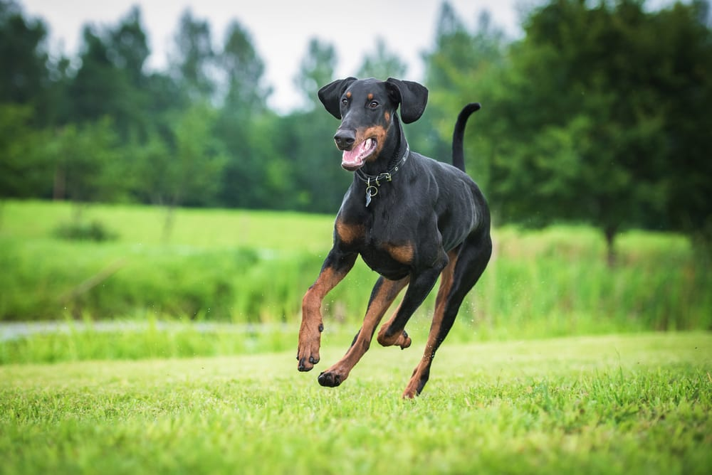 Fastest Dog Breeds - Doberman Pinscher