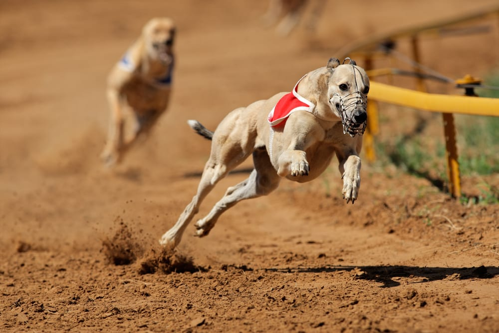 Fastest Dog Breeds - Greyhound
