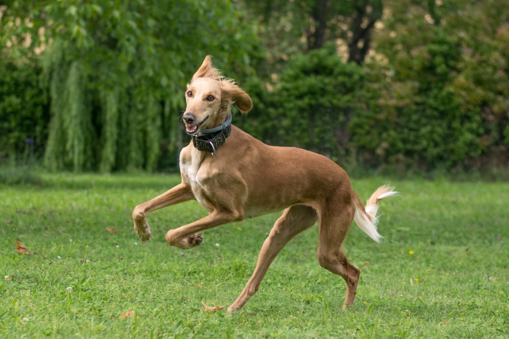 Fastest Dog Breeds - Saluki