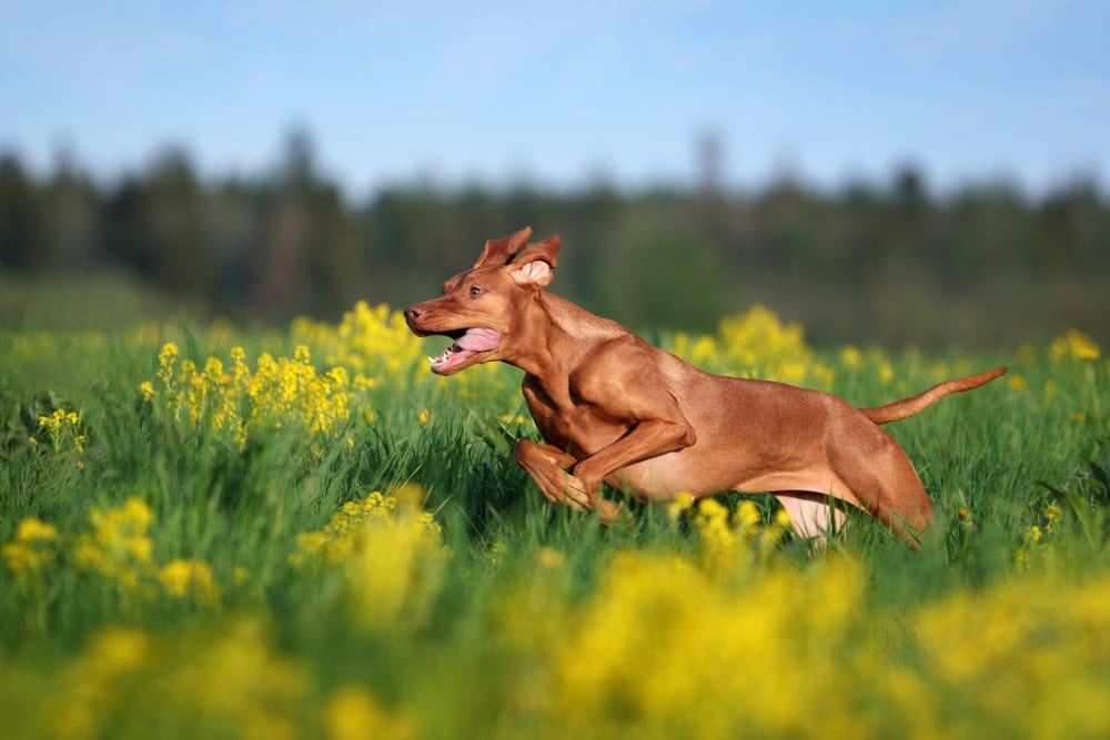 Fastest Dog Breeds - Vizsla