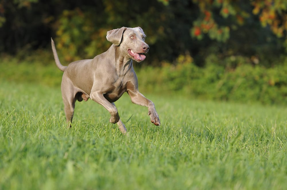 Fastest Dog Breeds - Weimaraner
