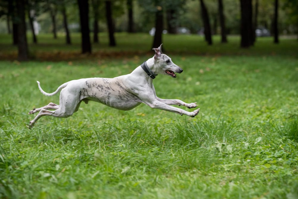 Fastest Dog Breeds - Whippet