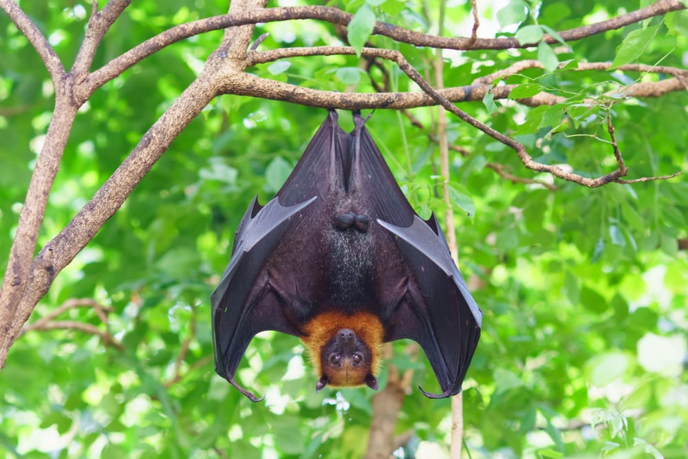 Most extreme hearing animals - Bat
