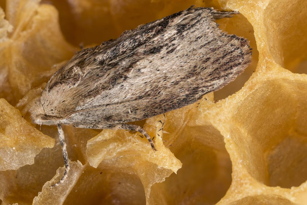 Most extreme hearing animals - Greater Wax Moth