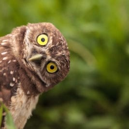 Most extreme hearing animals - Owl
