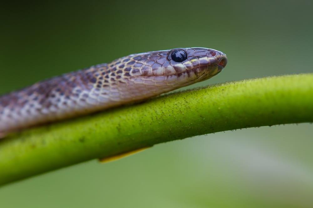 Most Venomous Snakes - Blue Krait