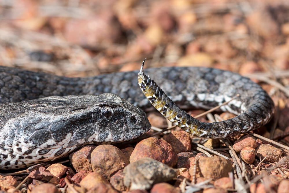 Most Venomous Snakes - Death Adder