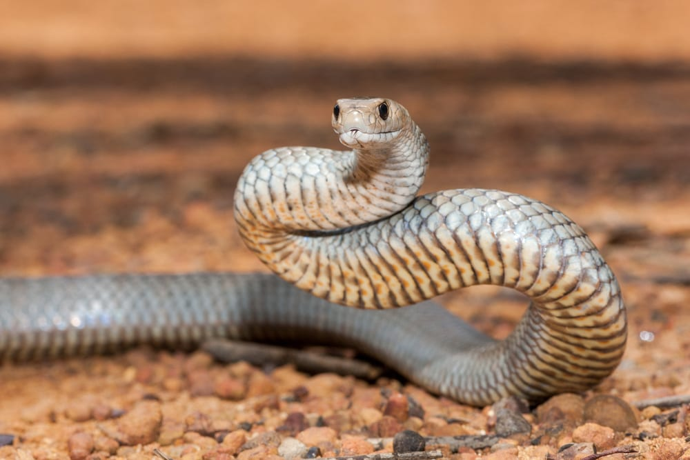 Most Venomous Snakes - Eastern Brown Snake