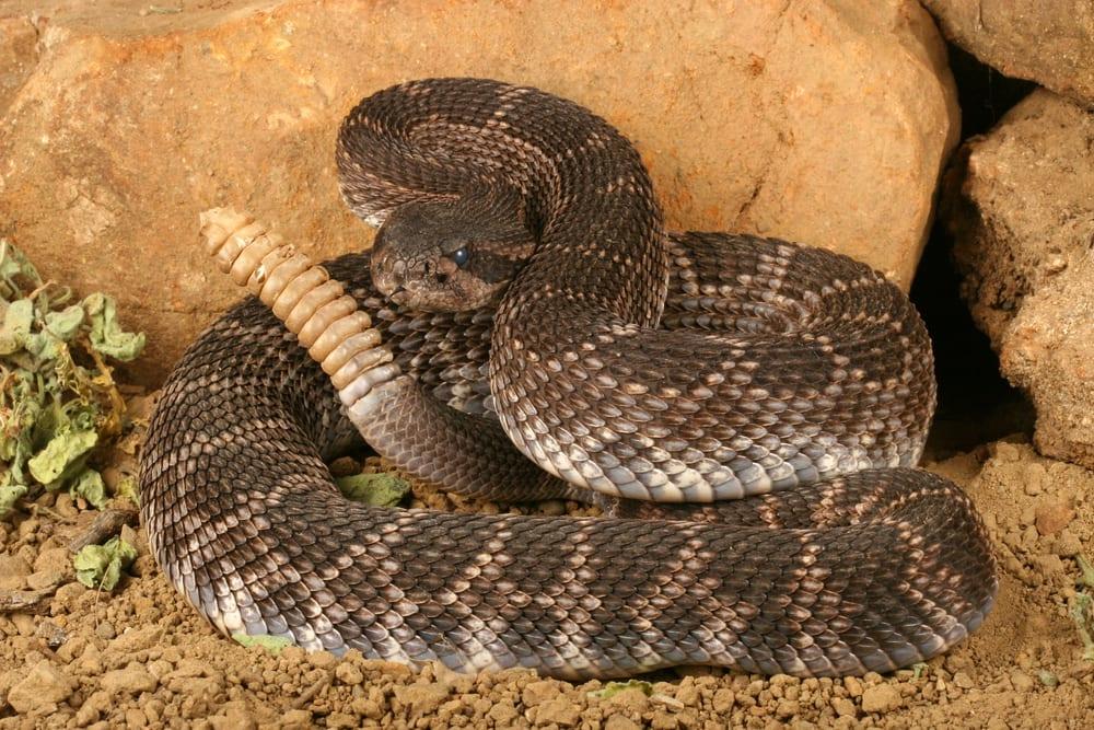 Most Venomous Snakes - Rattlesnake
