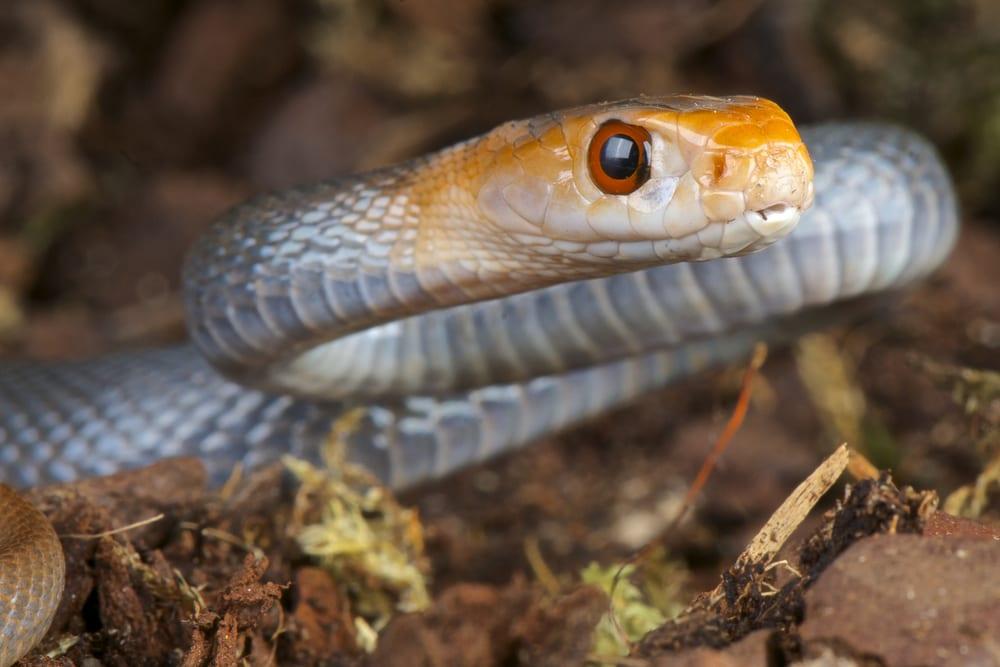 Most Venomous Snakes - Taipan