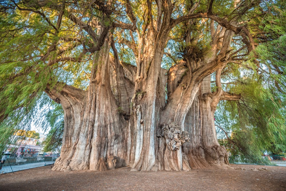 Most Famous Trees in the World: Arbol del Tule