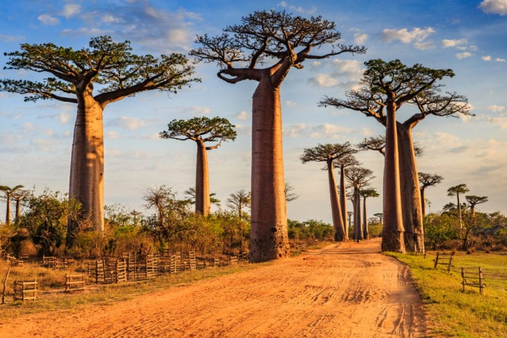 Most Famous Trees in the World: Avenue of the Baobabs