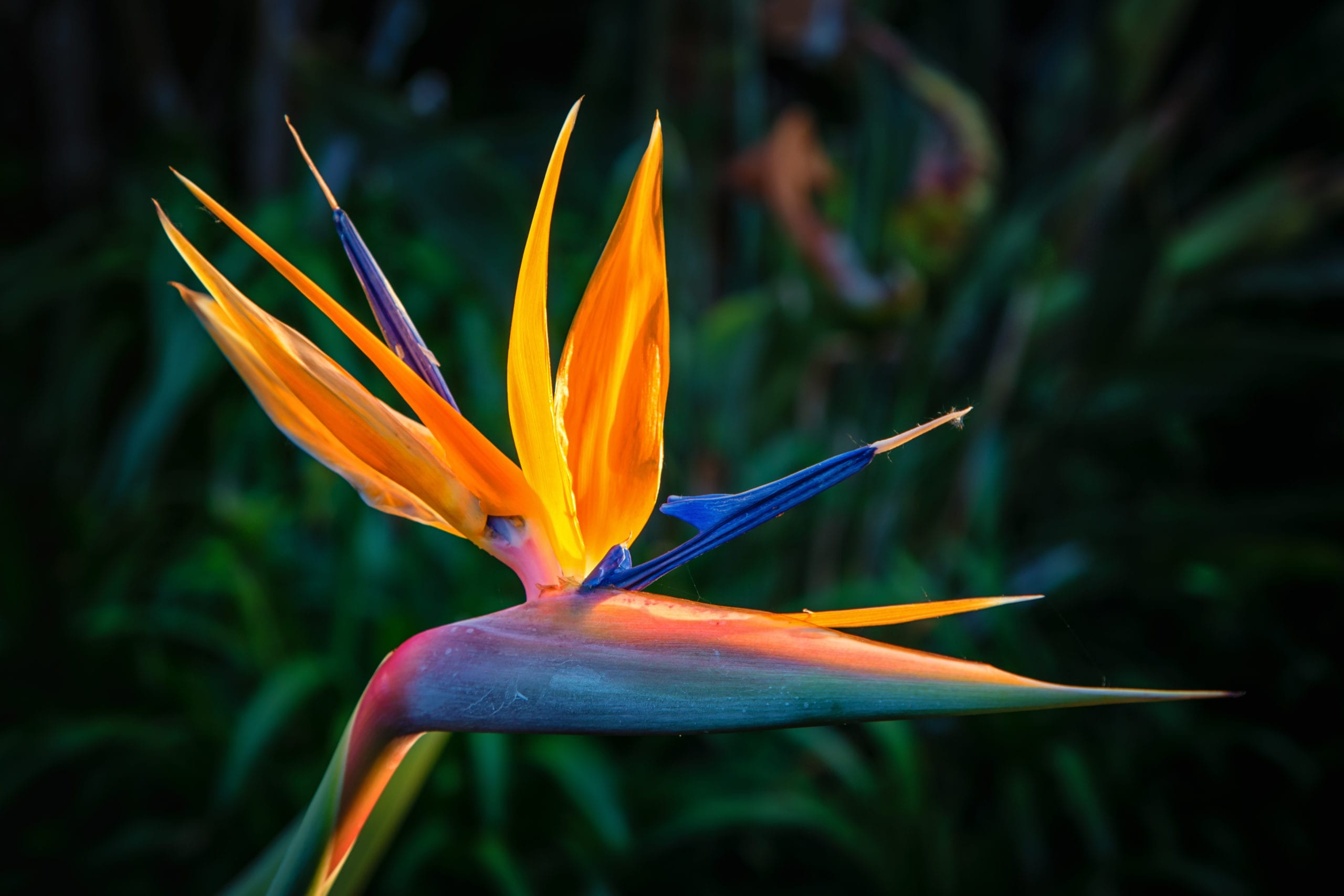 Most Beautiful Flowers - bird of paradise