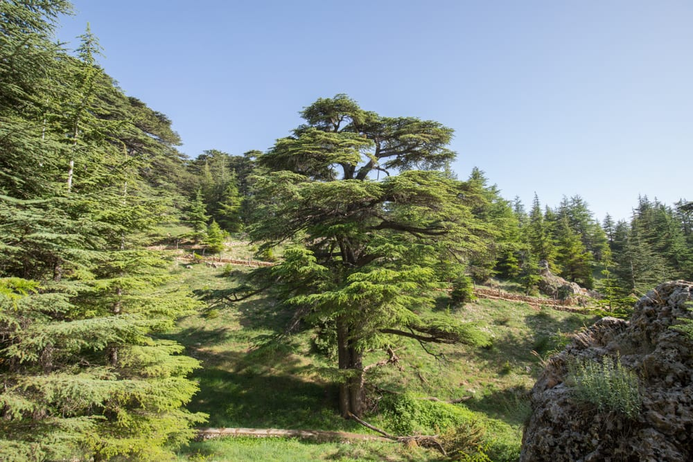 Most Famous Trees in the World: Cedars of God
