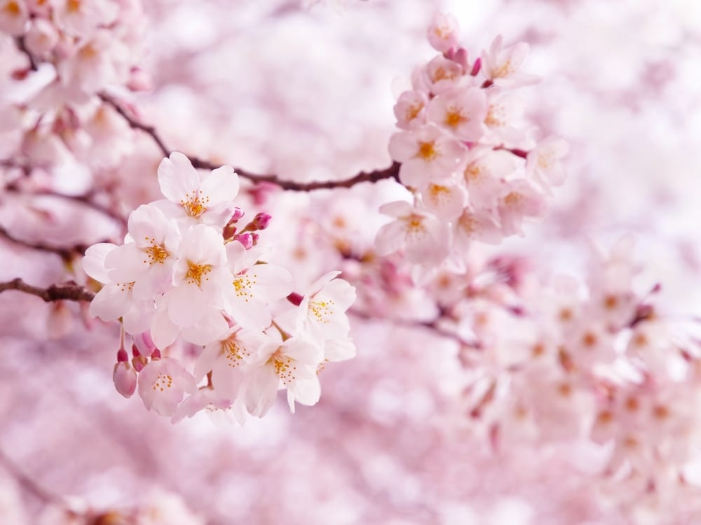 Most Beautiful Flowers - cherry blossom