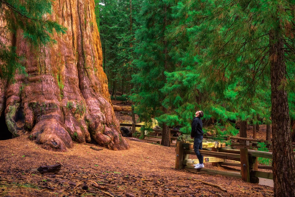 Most Famous Trees in the World: General Sherman