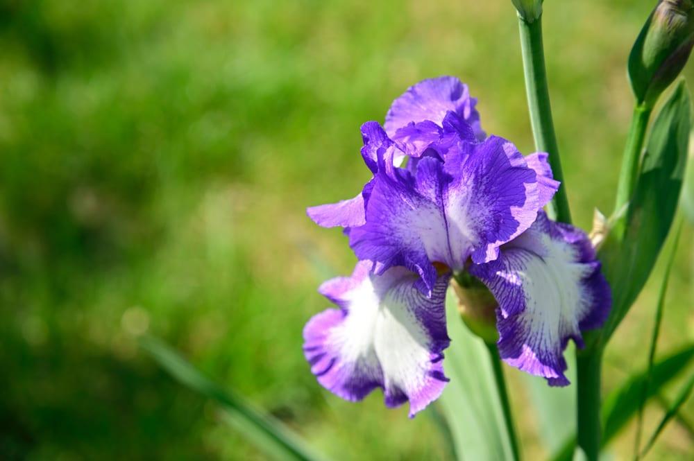Most Beautiful Flowers - iris