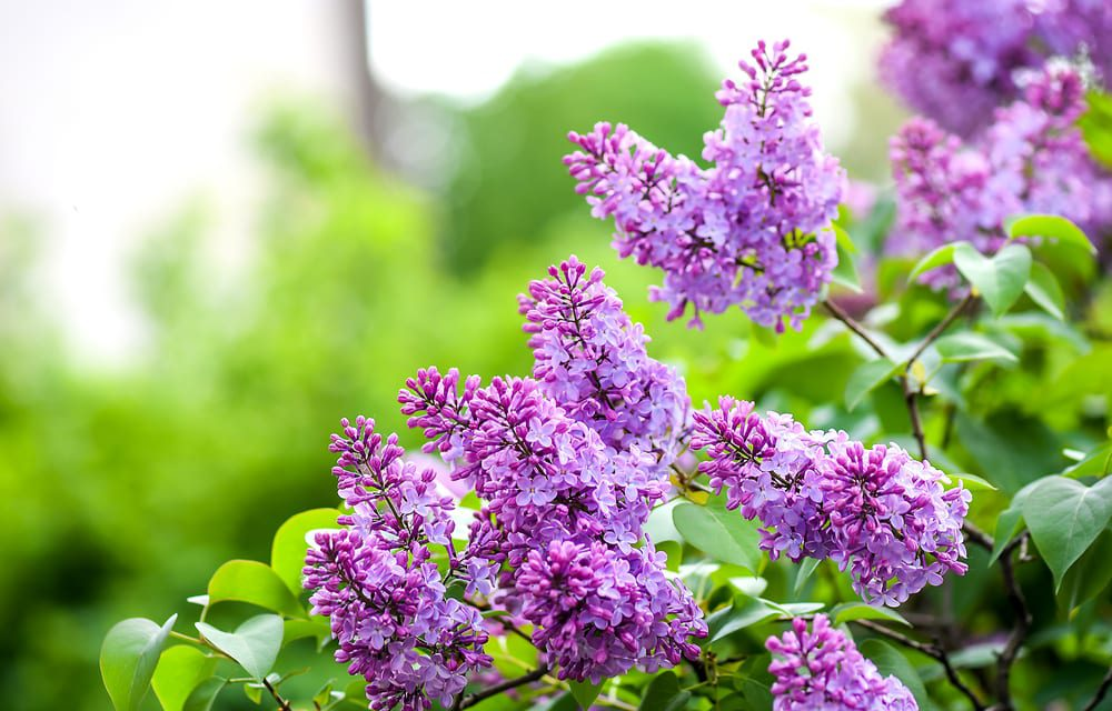 Most Beautiful Flowers - lilac