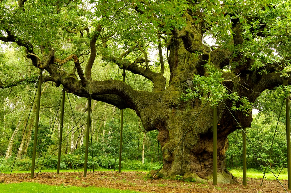 Most Famous Trees in the World: Oak Tree
