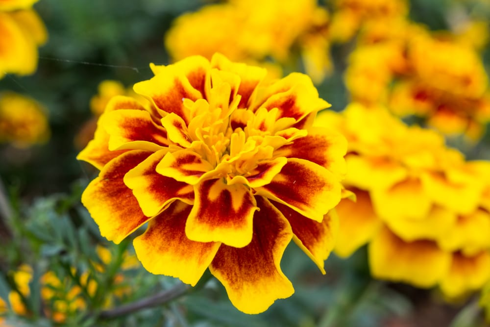 Most Beautiful Flowers - marigold