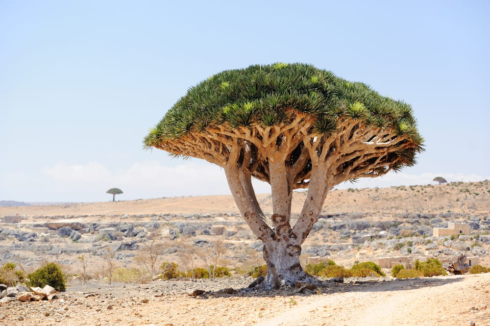 Most Famous Trees in the World: Dragon Tree