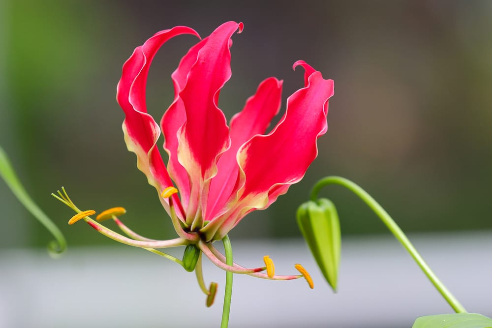 Most Expensive Plants - Gloriosa