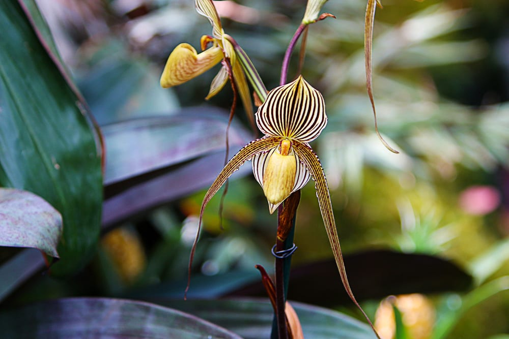Most Expensive Plants - Gold Kinabalu