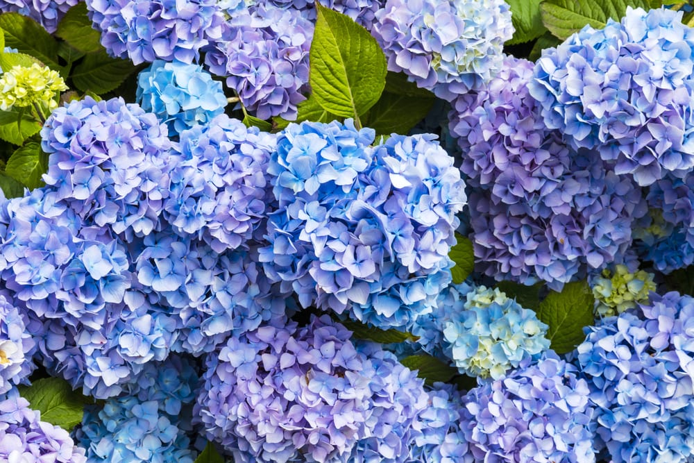 Most Expensive Plants - Hydrangea