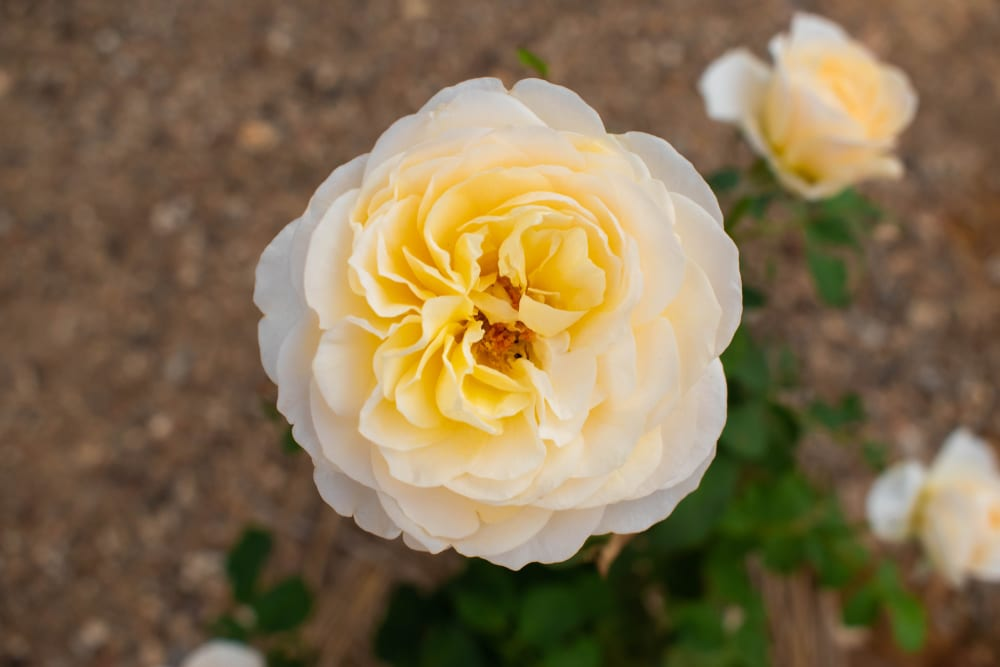 Most Expensive Plants - Juliet Rose