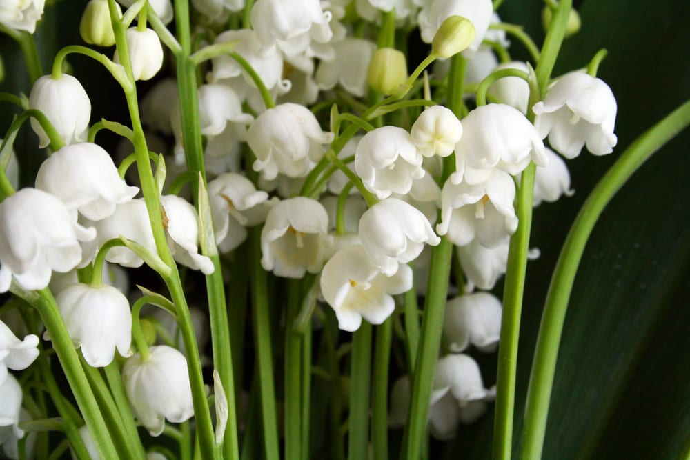 Most Expensive Plants - Lily of the valley