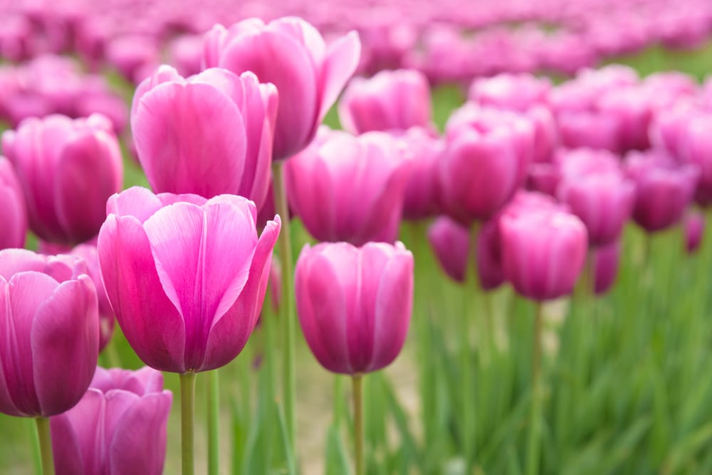 Most Expensive Plants - Tulip Bulb