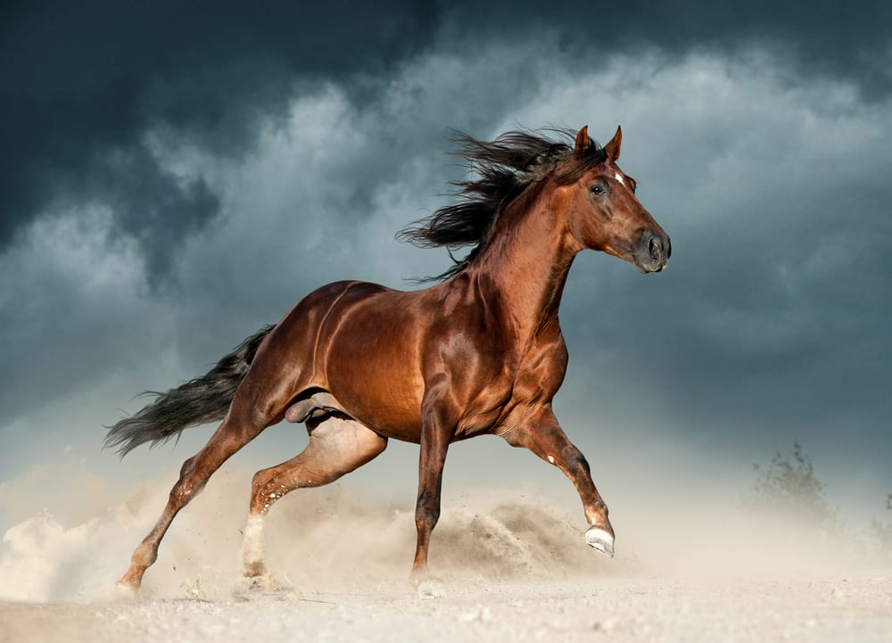 Most Beautiful Horse Breeds - Andalusian horse