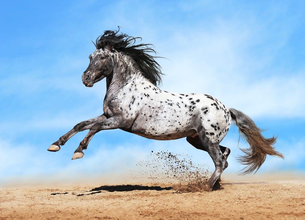 Most Beautiful Horse Breeds - Appaloosa
