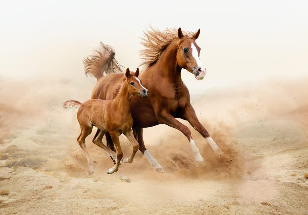 Most Beautiful Horse Breeds - Arabian Horse