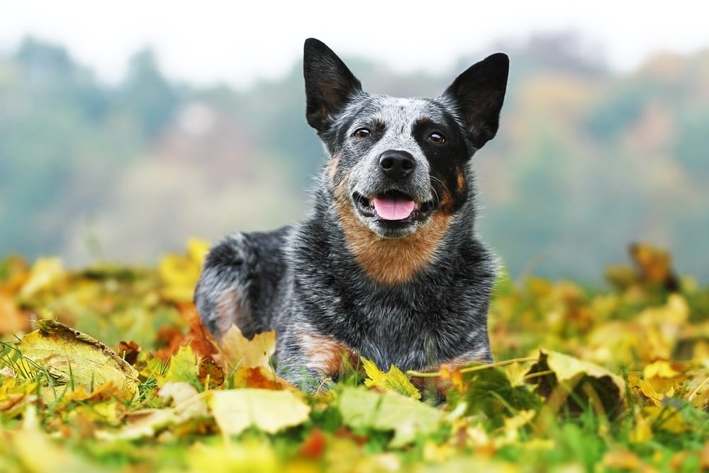 Cheapest Dogs - Australian Cattle Dog