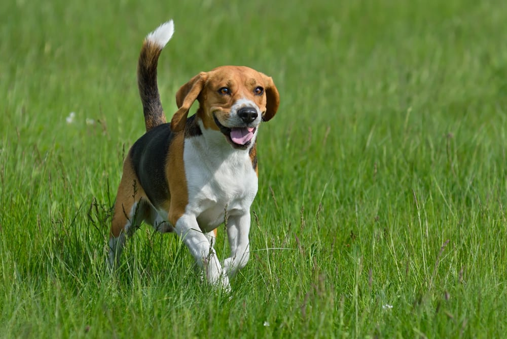 Cheapest Dogs - Beagle