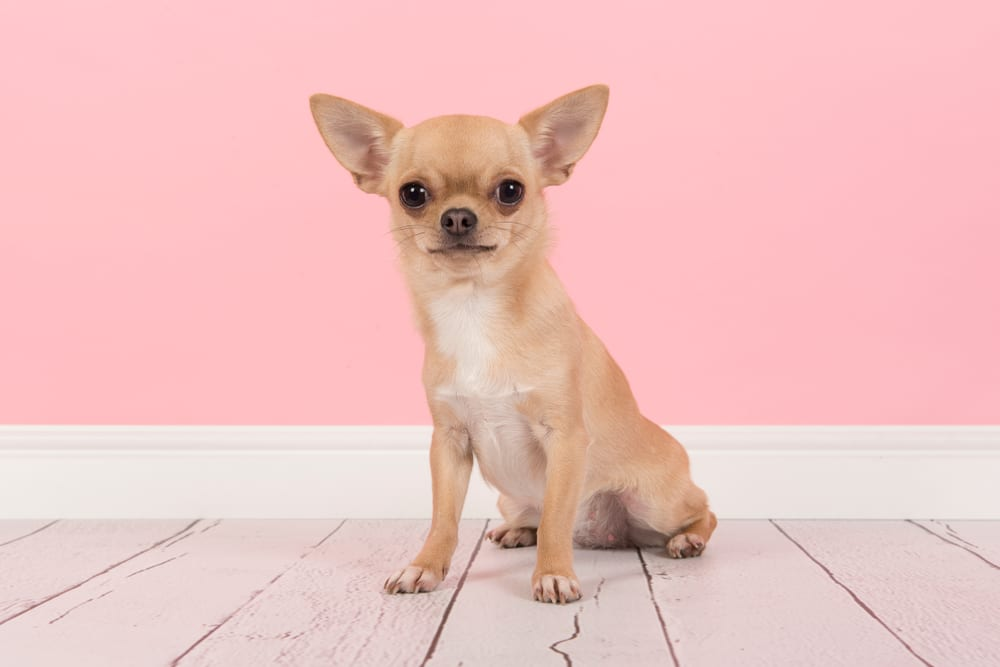 Cheapest Dogs - Chihuahua