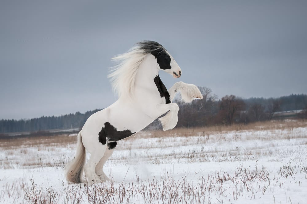 Most Beautiful Horse Breeds - Gypsy horse