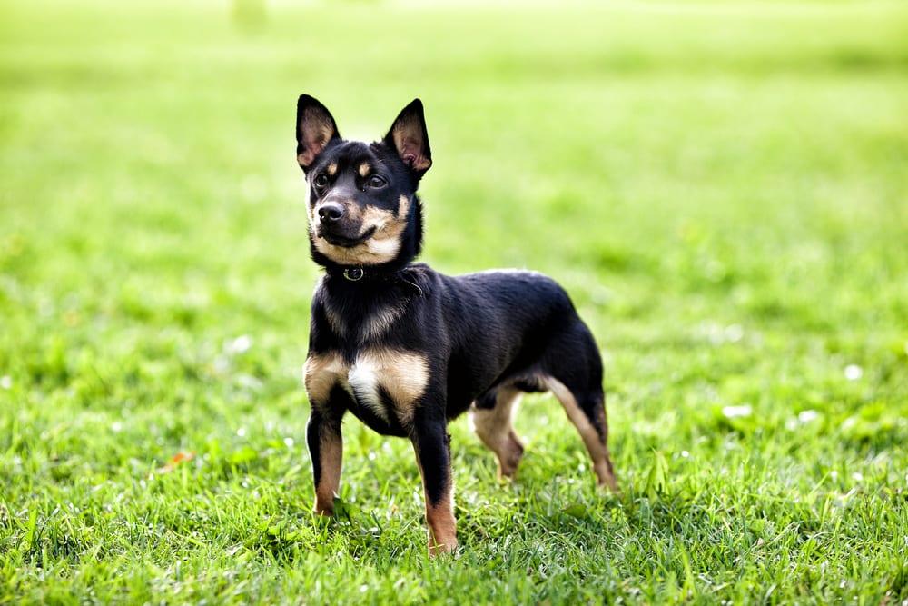 Cheapest Dogs - Mini Pinscher