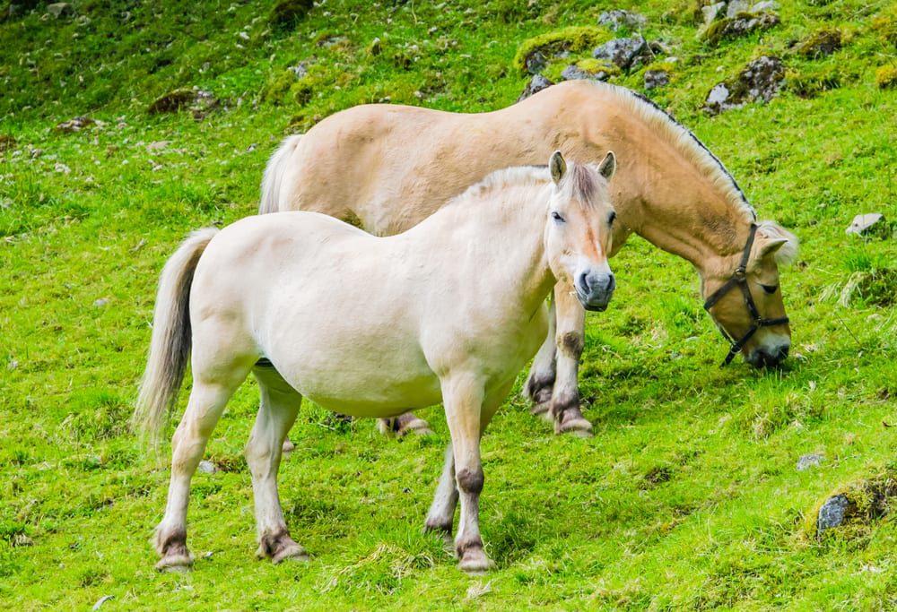 Most Beautiful Horse Breeds - Norweigian fjord horse