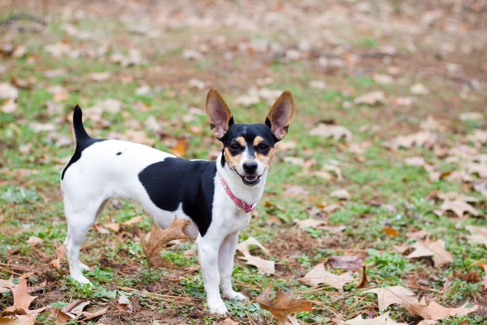 Cheapest Dogs - Rat Terrier