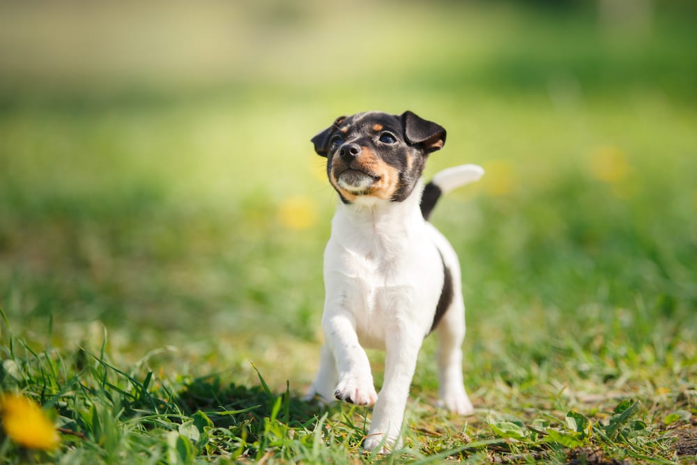 Cheapest Dogs - Toy Fox Terrier