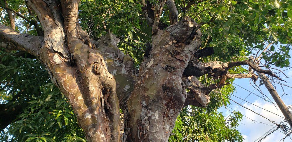 Most Expensive Wood - Lignum Vitae