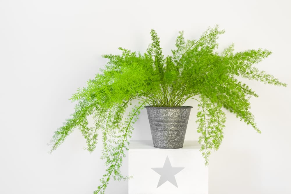 Most Dangerous Houseplants that Dog Owners Must Avoid - Asparagus Fern