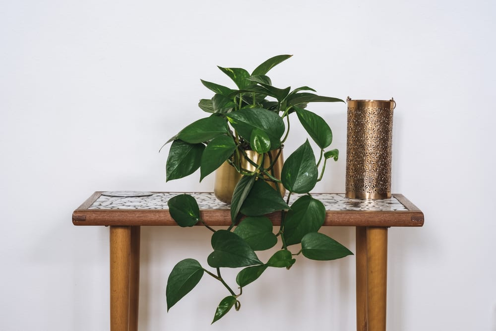 Most Dangerous Houseplants that Dog Owners Must Avoid - Devils Ivy