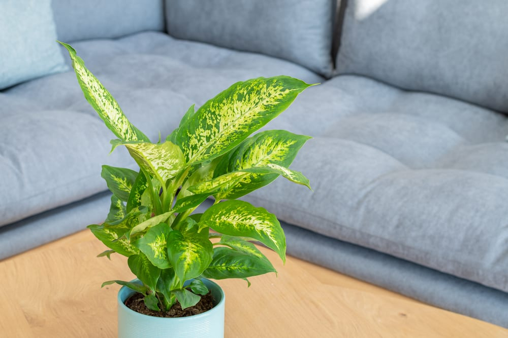 Most Dangerous Houseplants that Dog Owners Must Avoid - Dumb Cane